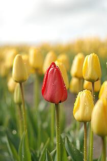 skagit-valley-tulips-militarybyowner