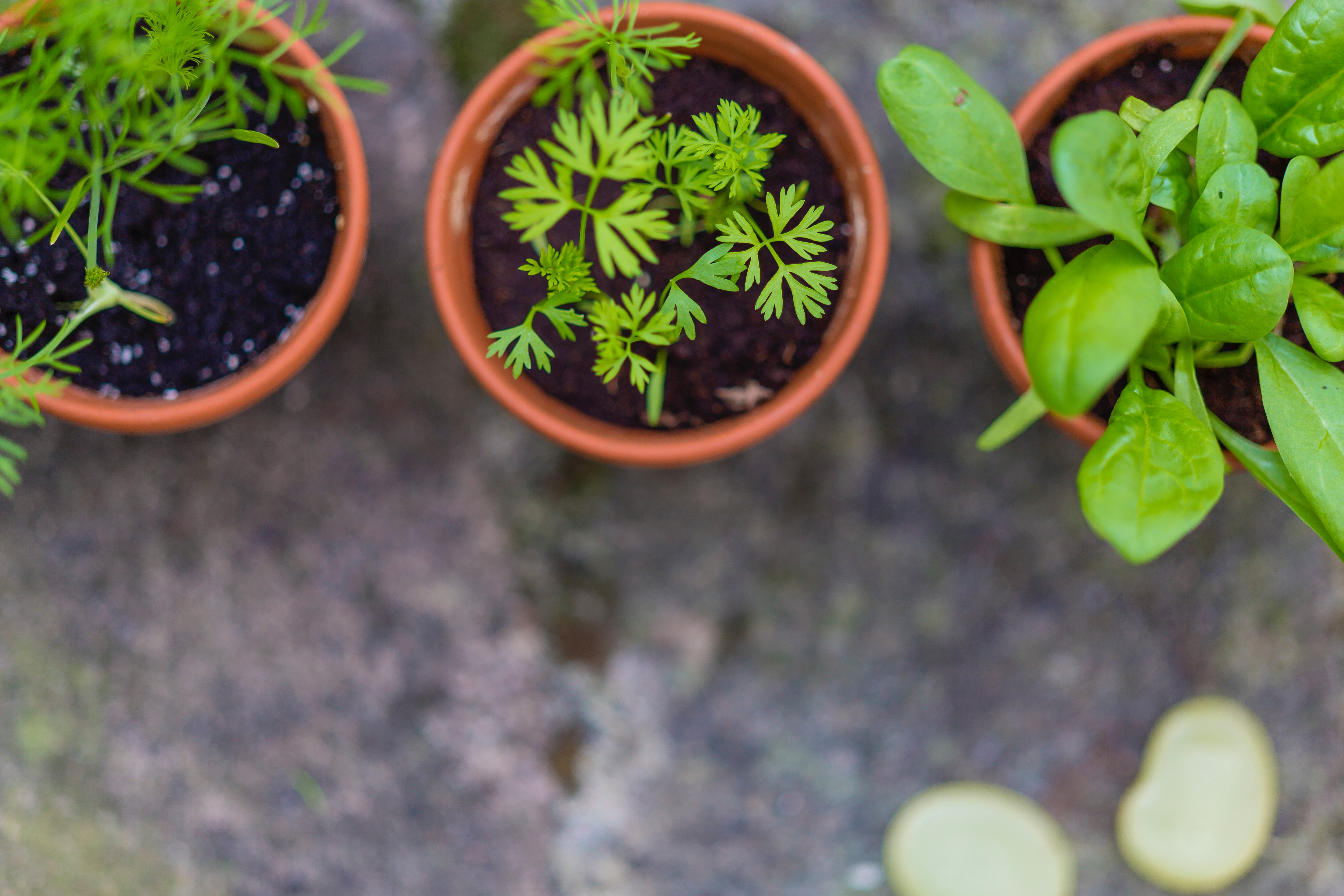 Potted Herbs Add Charm to Your Outdoors