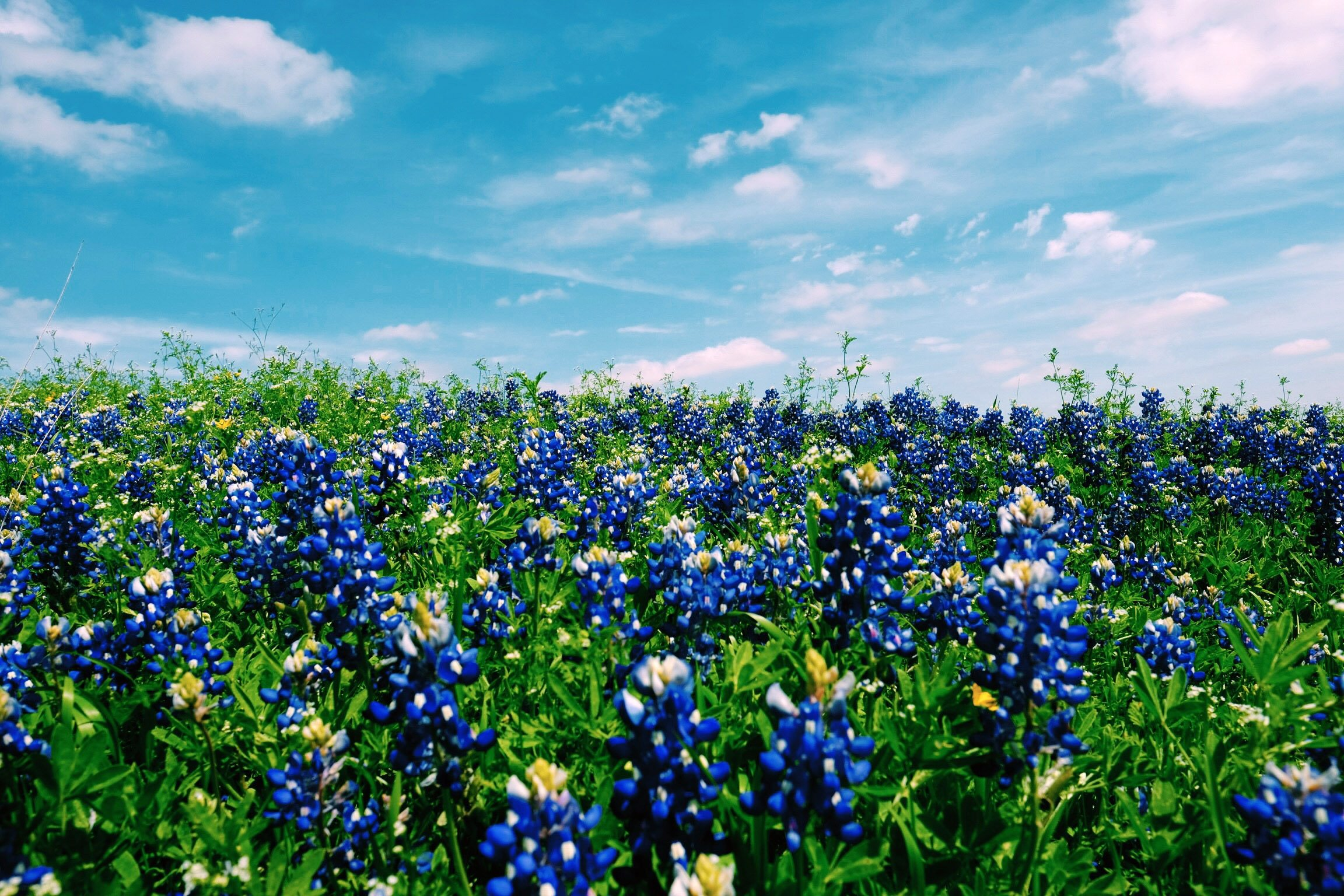 blue-flower-field-in-austin-texas.jpg