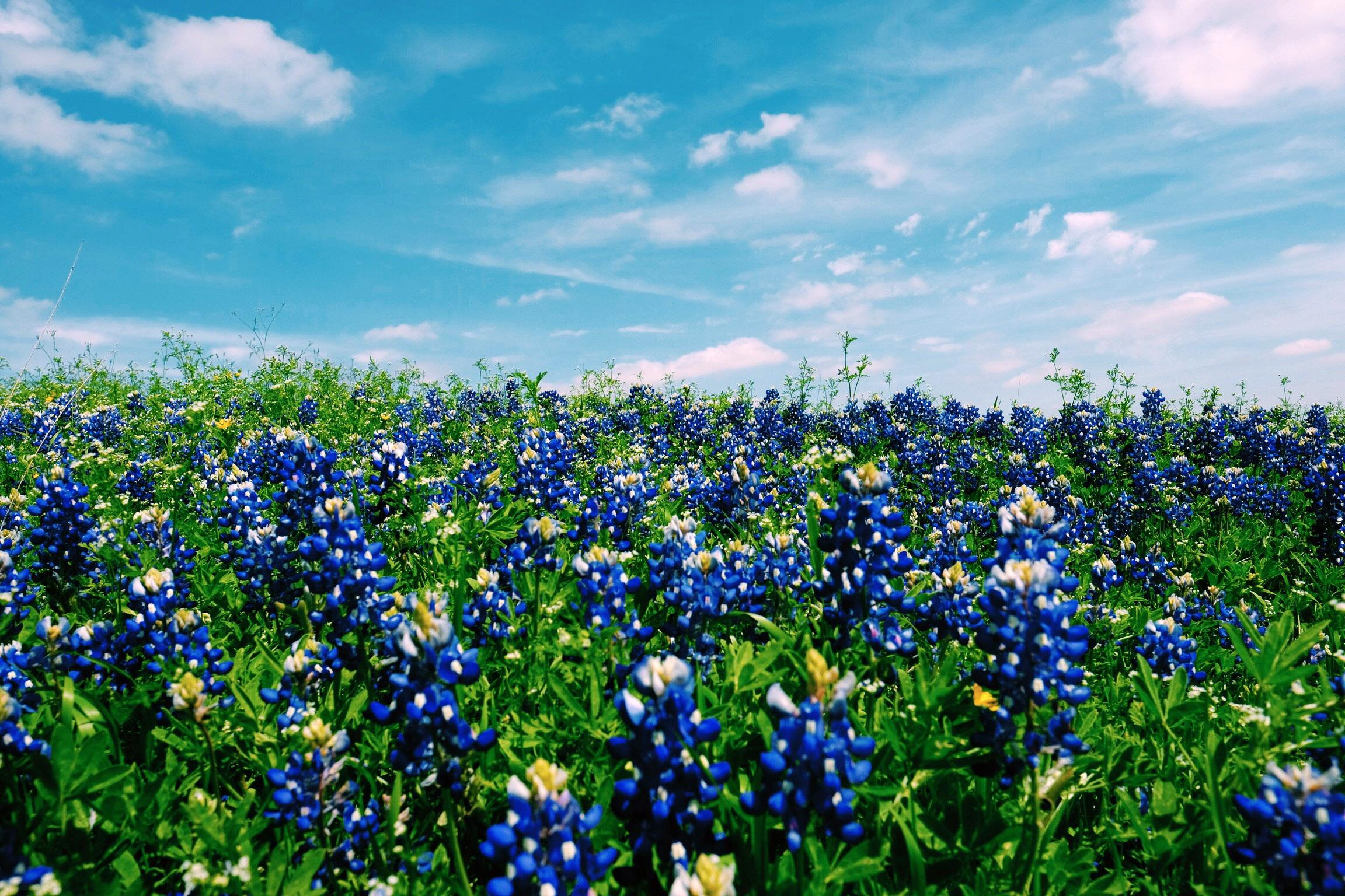 blue-flower-field-in-austin-texas.jpg