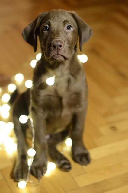 Many cats and dogs will chew on anything, including strings of lights.