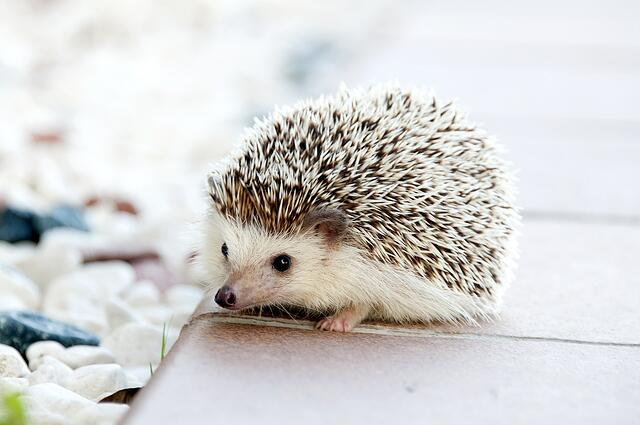 hedgehog-468228_1280.jpg