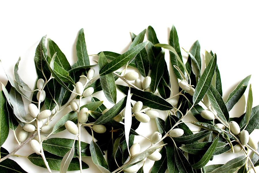 Olive leaves for home decor
