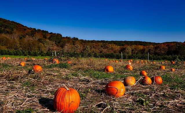 pumpkin-patch-1599169_1280