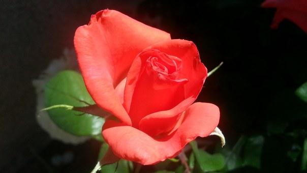 coral rose.png