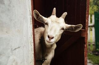A goat is not a suitable pet for on-base housing.