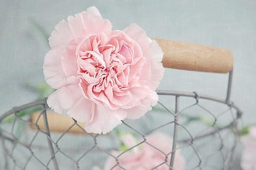 pink carnation.png
