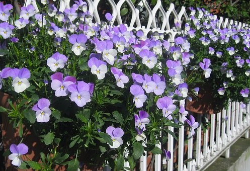 pansy fence.jpg
